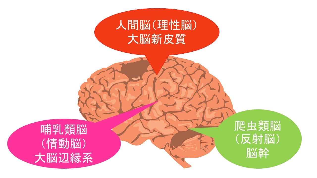 爬虫類脳は脳の奥、哺乳類脳は脳の真ん中、人間脳は脳の表面にある